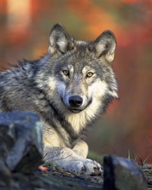 Wolfs hunt in packs and always stick together