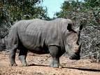 Rhinos are a shorter term of Rhinoceros