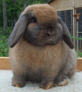 Fluffy Rabbit image